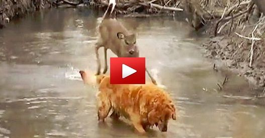 """This deer thinks she's a dog and runs with this Golden Retriever every time she sees it.Aren't these fun?The pair were originally featured on a program called """"Animal Odd Couples,"""" a show that fe..."""