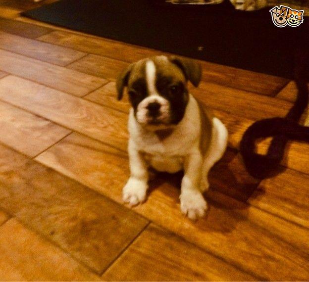 Lovable French Bulldog Pups French Bulldog Puppies French Bulldog Cute French Bulldog