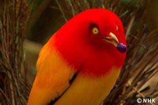 اللهب باور بيرد Beautiful Birds Nature Birds Pet Birds