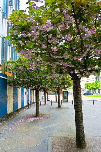 The Streets Of Belfast Cherry Blossom Belfast Ireland Belfast Dublin Ireland Ireland
