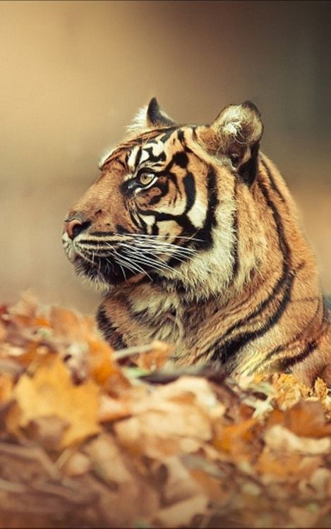 Hd Tiger Wallpaper Hd Tiger Wallpaper Download Tiger Wallpaper