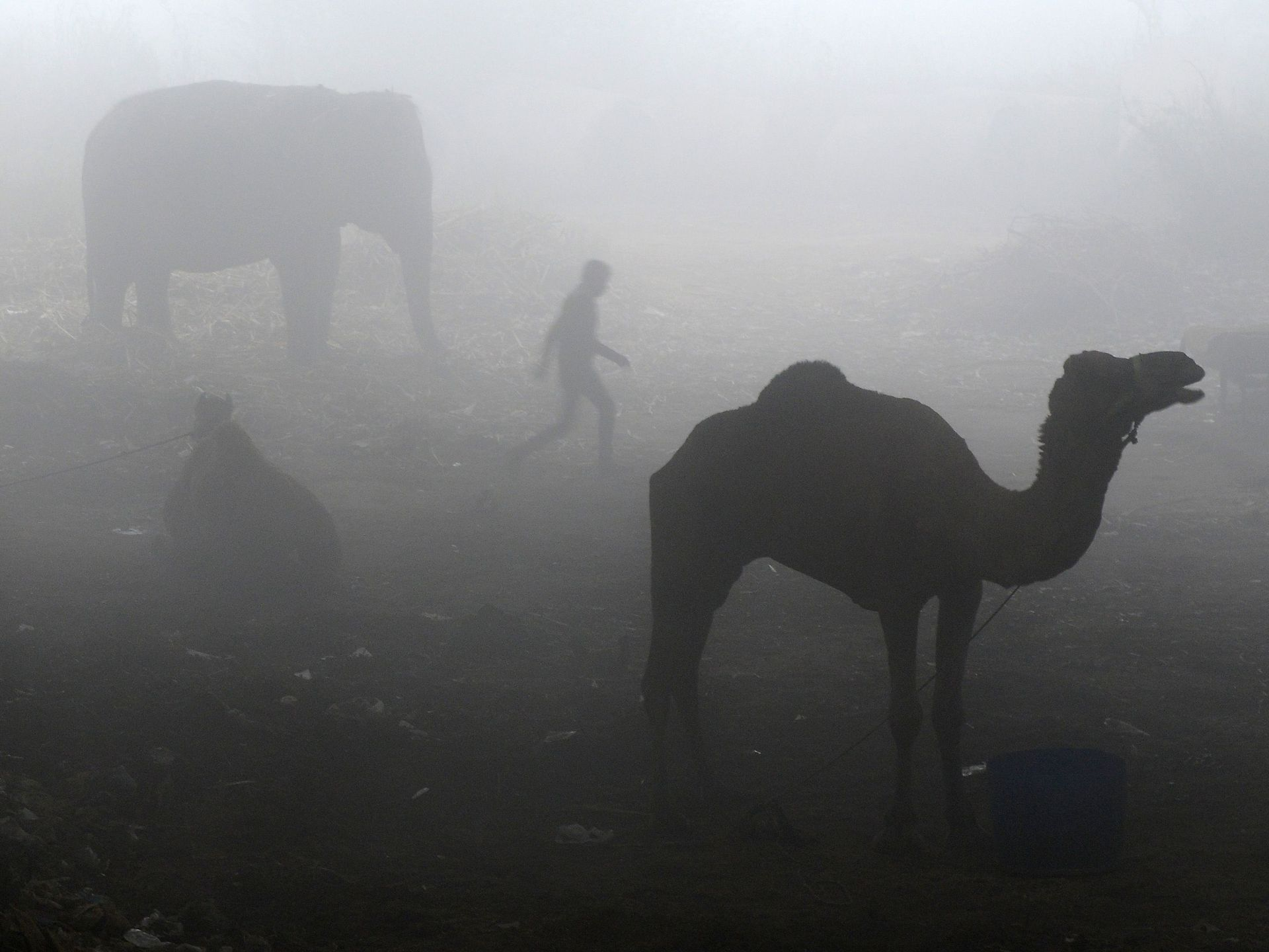A man walks past a camel and an elephant tethered on