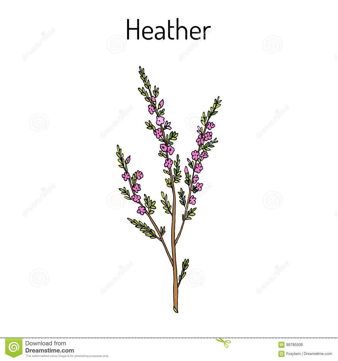 Pin By Gretta Roberts On Tattoos In 2020 Heather Flower Plant Sketches Heather Plant
