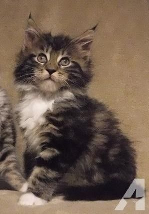Chattanooga Tn Domestic Shorthair Meet Kamy A Pet For Adoption Cats In Need Of A Home Pet Adoption Pets Adoption