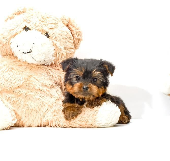 Pin by affordable pups on Yorkie Puppies Yorkie puppy