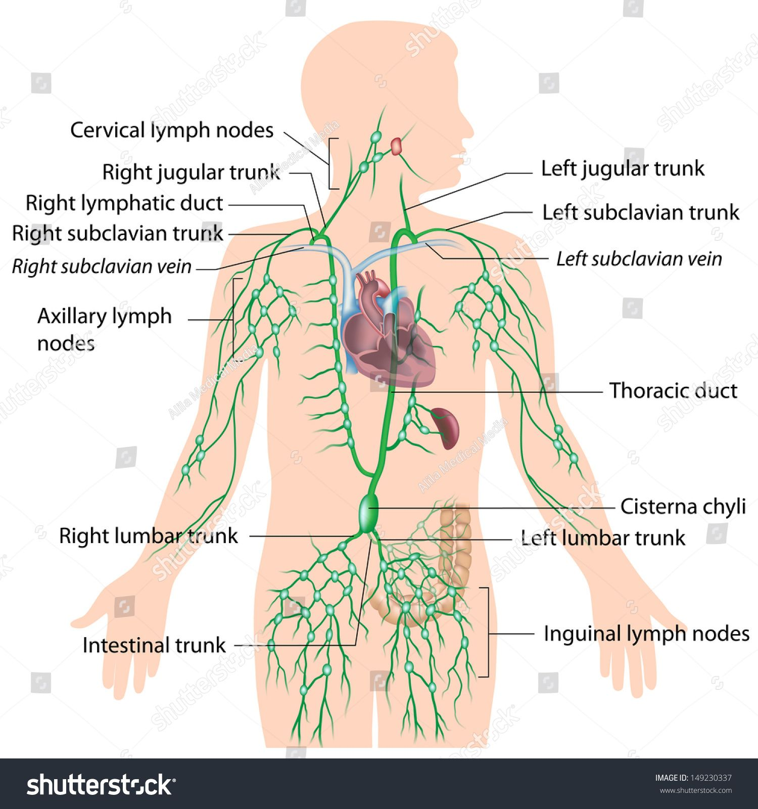 Image Result For Human Male Lymphatic System Diagram