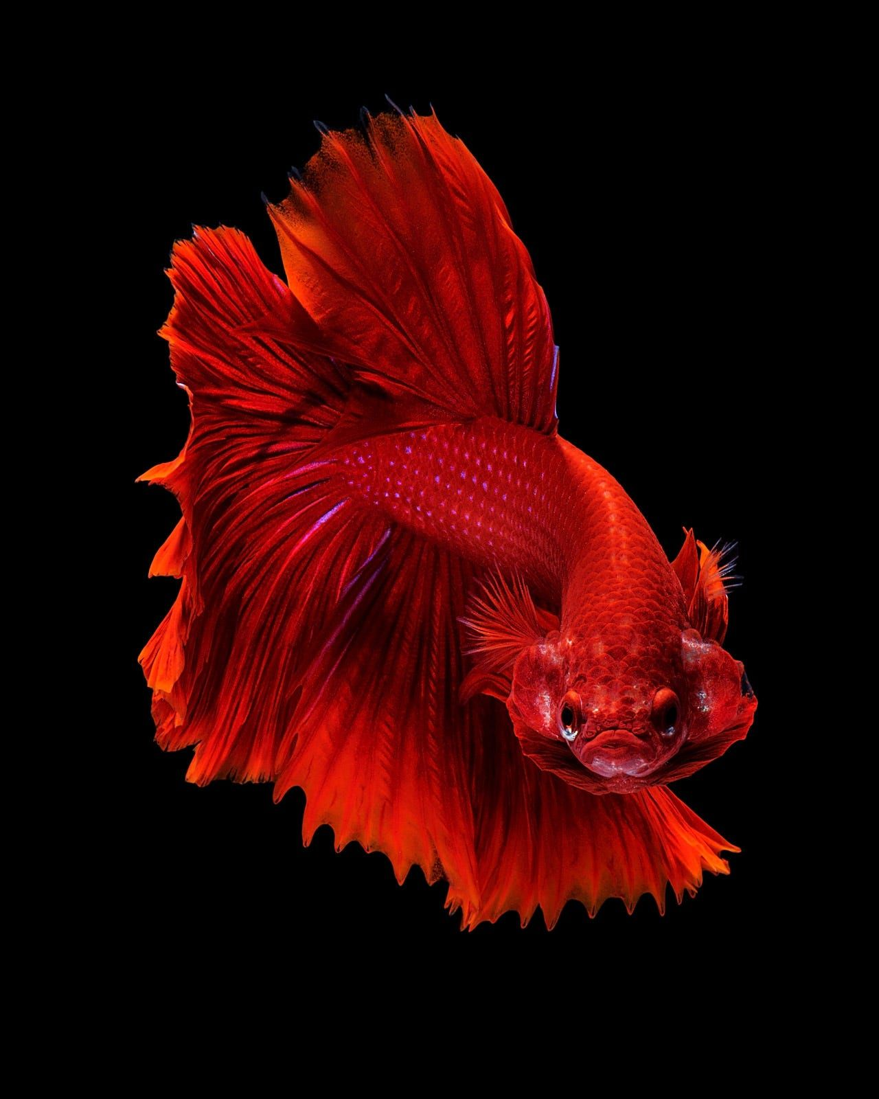 Capture The Moving Moment Of Red Siamese Fighting Fish Isolated On Black Background Dumbo Betta Fish Betta Fish Betta Betta Fish Tank
