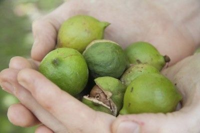 Picking Macadamia Nuts When Are Macadamia Nuts Ripe Aquaponics Macadamia Nuts Aquaponics Fish