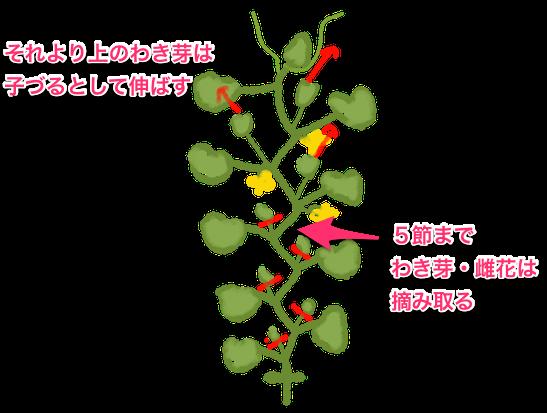 キュウリの栽培方法 育て方のコツ 植物栽培 栽培 キュウリ