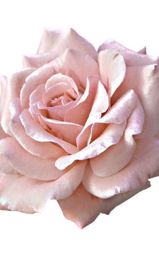 Pin By Marta Laje On Rose Pink Rose Png Pink Rose Tattoos Light Pink Rose
