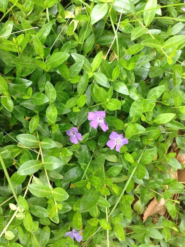 Myrtle Perennial Ground Cover: Pin On Flowers