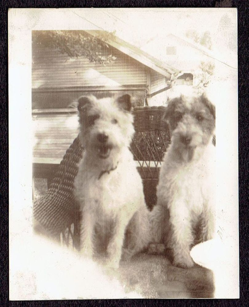 S519 CUTE LITTLE DOGS SITTING IN CHAIR OLD Vintage Photo/Snapshot