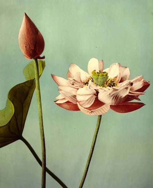 Floral Collotype: Kazumasa Ogawa