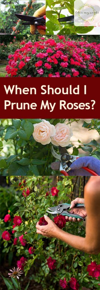 When Should I Prune My Roses? Pruning Roses, How to Prune Your Roses, Garden, Gardening Tips and Tricks, Gardening 101, Gardening