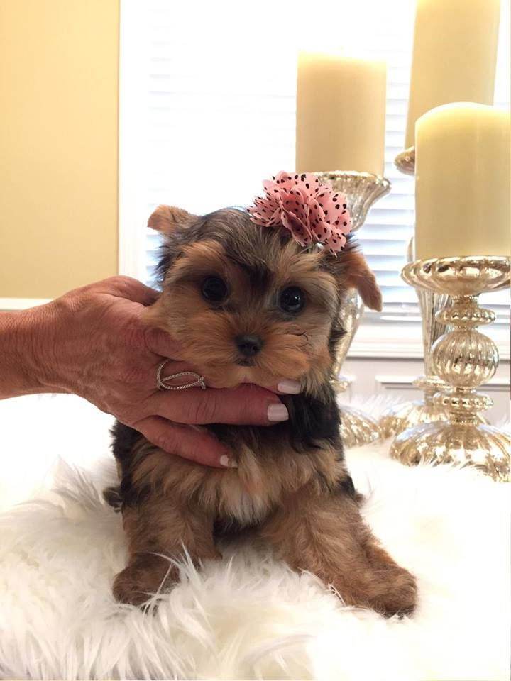 Charm Valley Yorkies Home Of Luxurious Teacup Baby Doll Face