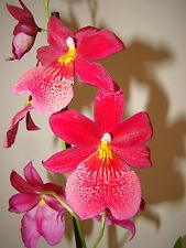 Burrageara 'Nelly Isler' Red Cambria Orchid House Plant
