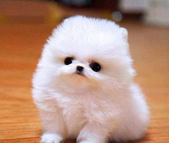 Top 10 Smallest Dog Breeds The Pet S