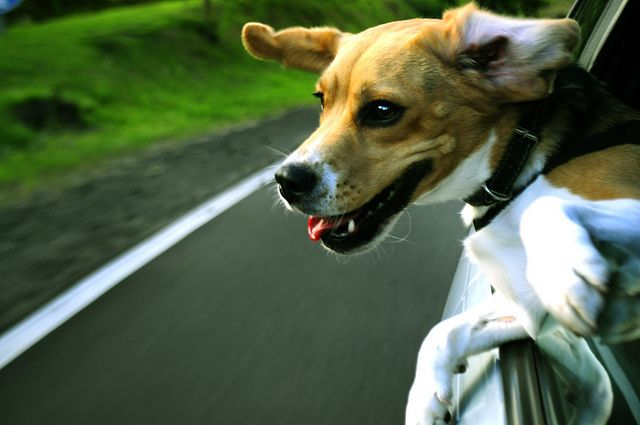 29 Shots of Dogs Sticking Their Heads Out of Car Windows (Humor) - a fun photography break!