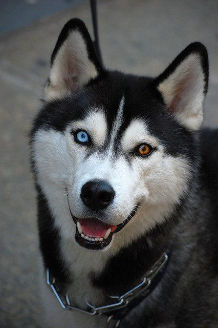 Snow Dog With Beautiful Eyes Husky Dogs Beautiful Dogs Most