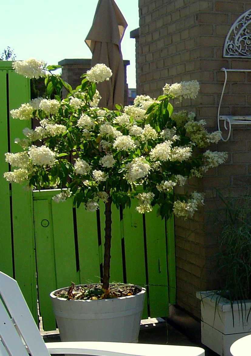 Shrubs Hydrangea Paniculata Grandiflora In Mid Summer This Color