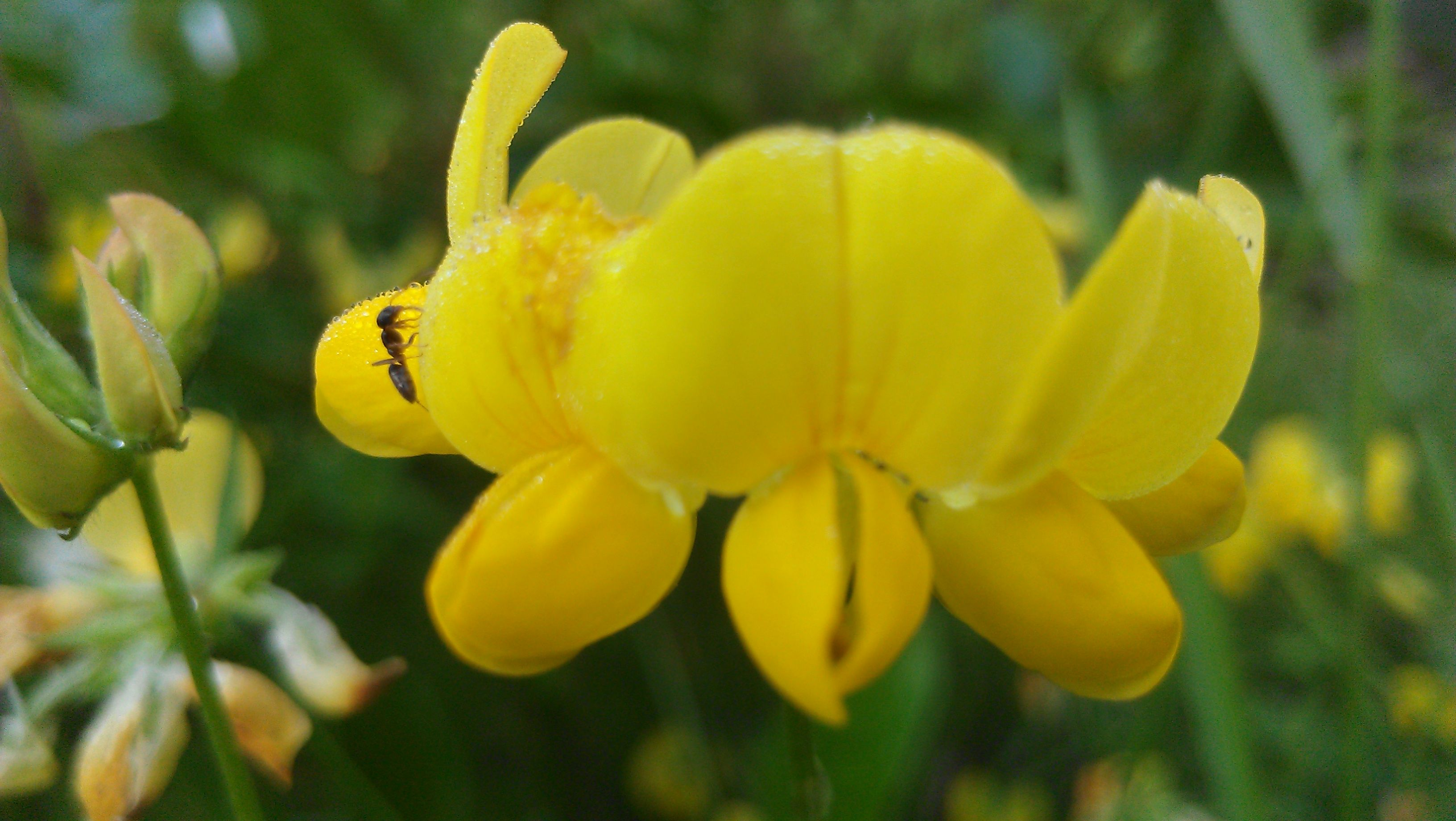 An Ant Exploring A Tiny Yellow Flower Flowers Of Cobble House