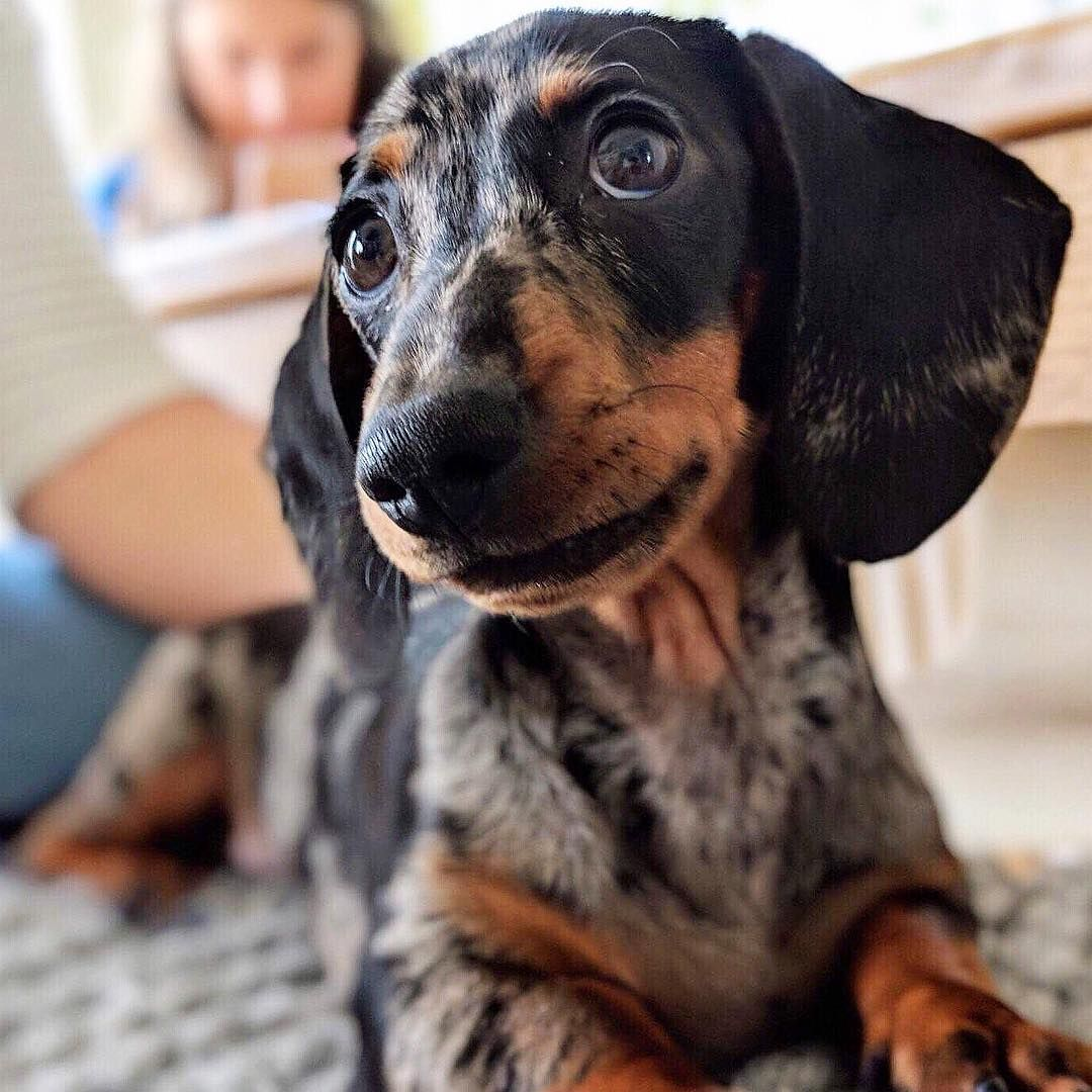 Dachshund Products Apparel And Gifts Dachshund Breed Clever