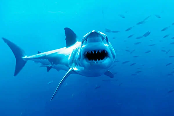 Tiburones Qué Es Un Tiburón Qué Come Todo Aquí En Tiburon Blanco Imágenes De Tiburones Especies De Tiburones