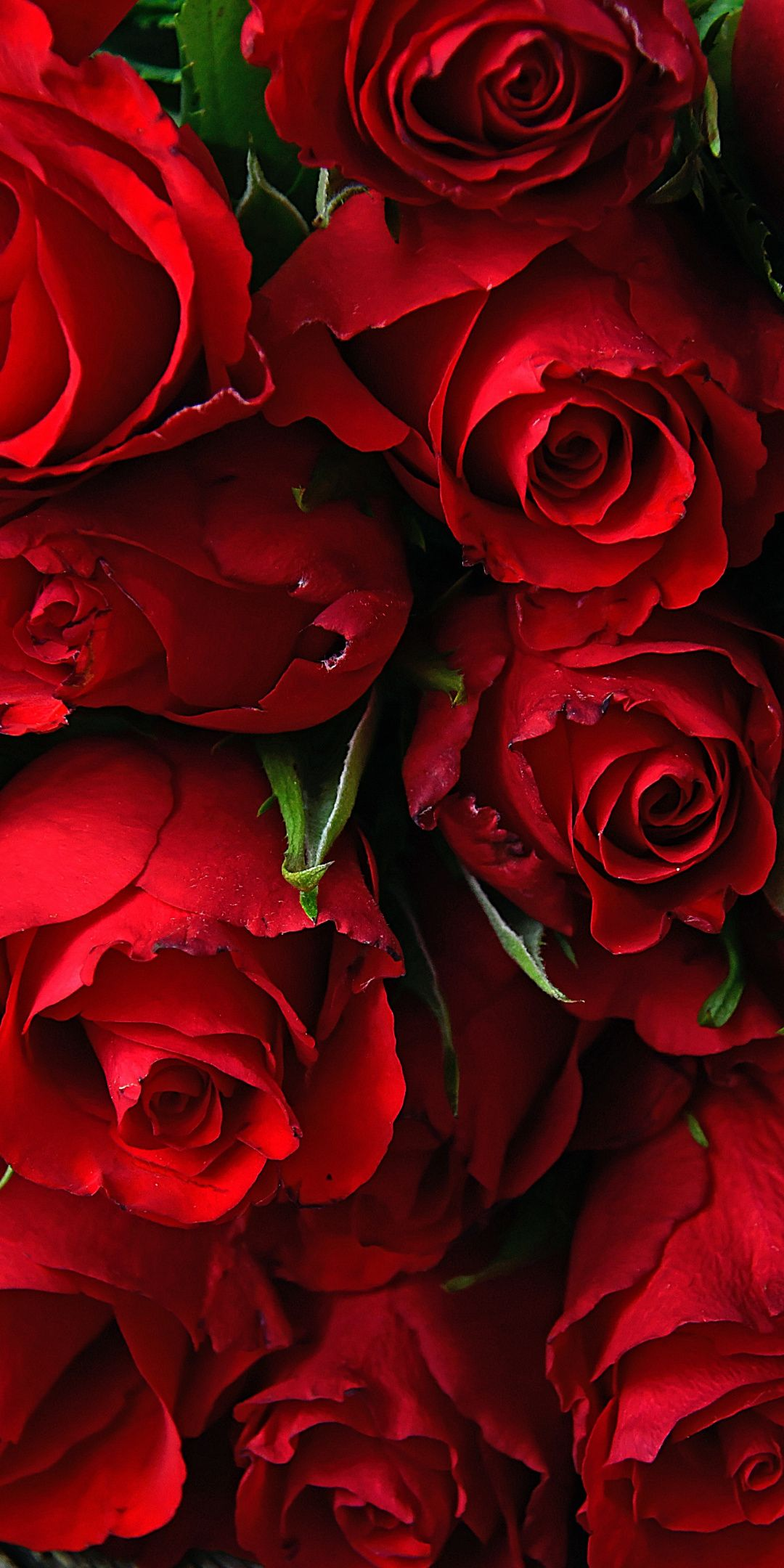 Rose, fresh, red flowers, 1080x2160 wallpaper