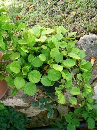 Swedish Ivy Care How To Grow A Swedish Ivy Houseplant Ivy Houseplant Plants Ivy Plants