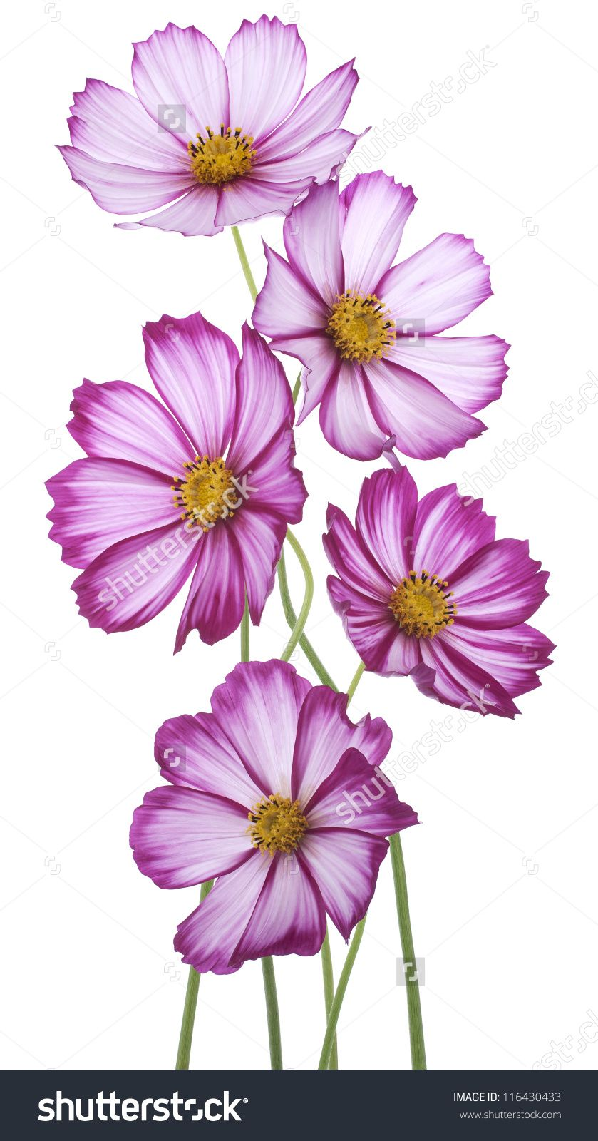 Studio Shot Of Magenta Colored Cosmos Flowers Isolated On White Background Large Depth Of Field Dof Macro Blue Flower Art Cosmos Flowers Flower Drawing
