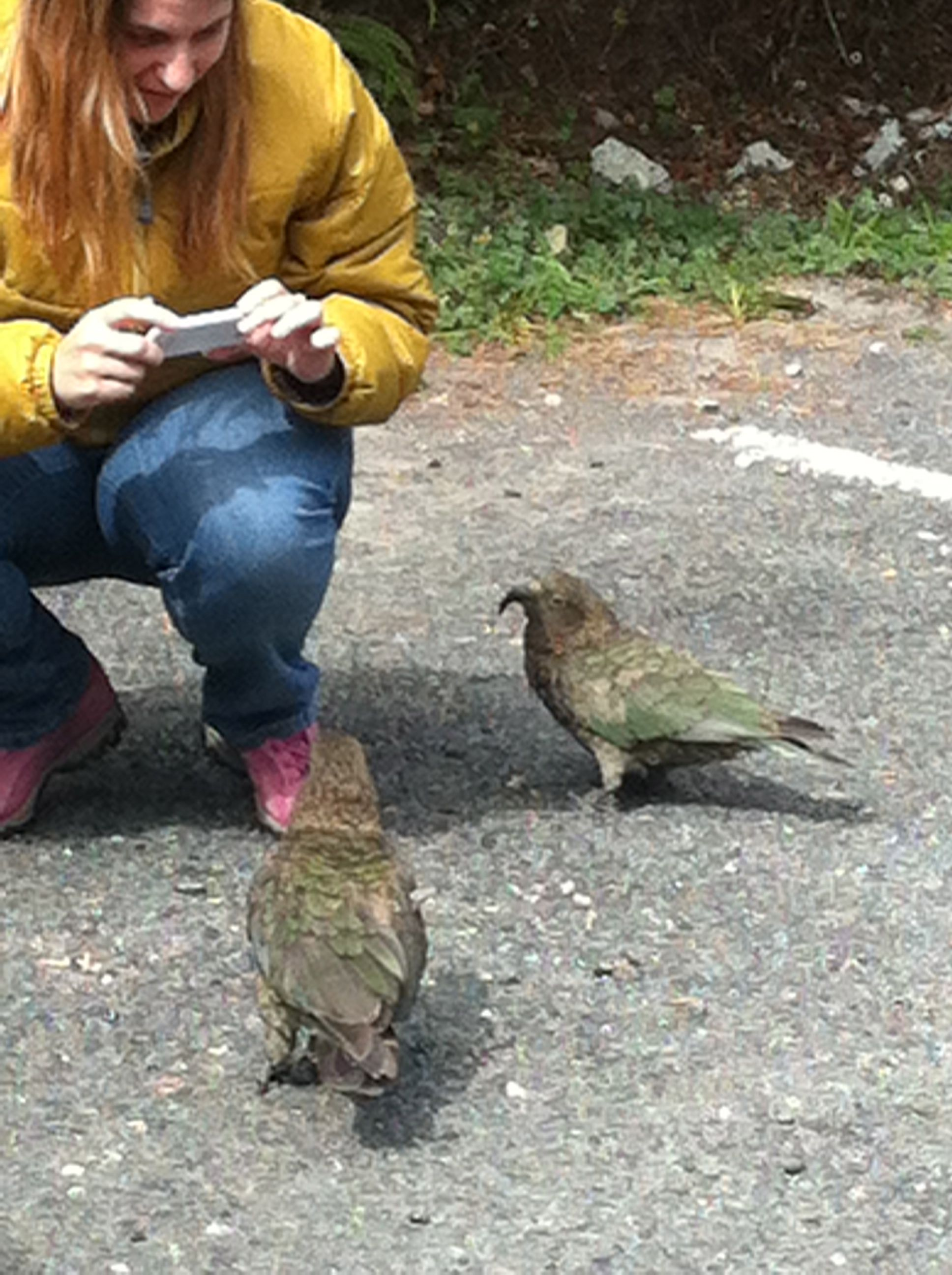 Renee about to snap a pic of two kea birds at the