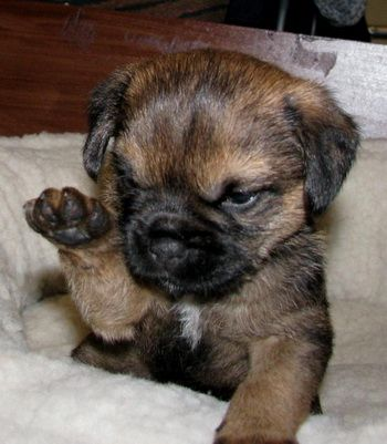 Border Terrier Puppy Craig Found A Small Puppy He Likes And