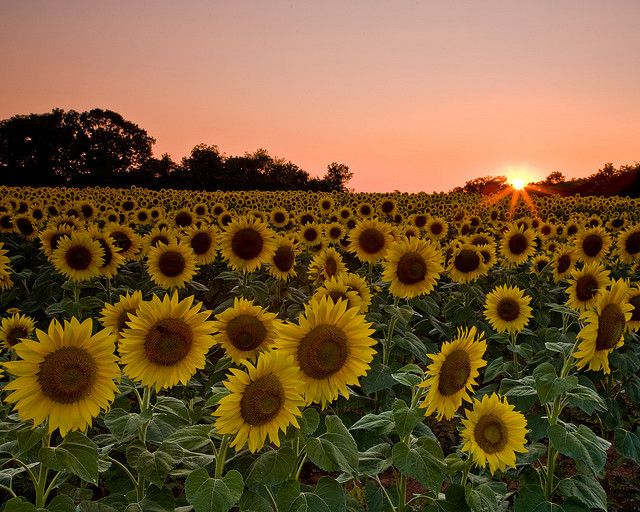 I want a field of sunflowers like this when I grow up :)