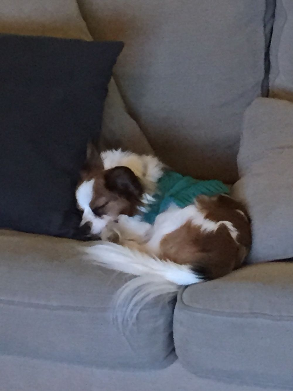 Angel Dog Porn - So warm and cozy! | Puppies!! | Papillon dog, Dogs, Dog daycare