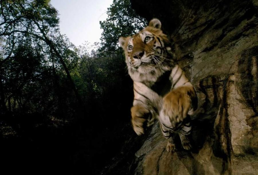 the leap National geographic animals, Tiger wallpaper