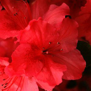 Rhododendron ponticum nombre popular rododendron for Arbustos de hoja perenne resistentes al frio