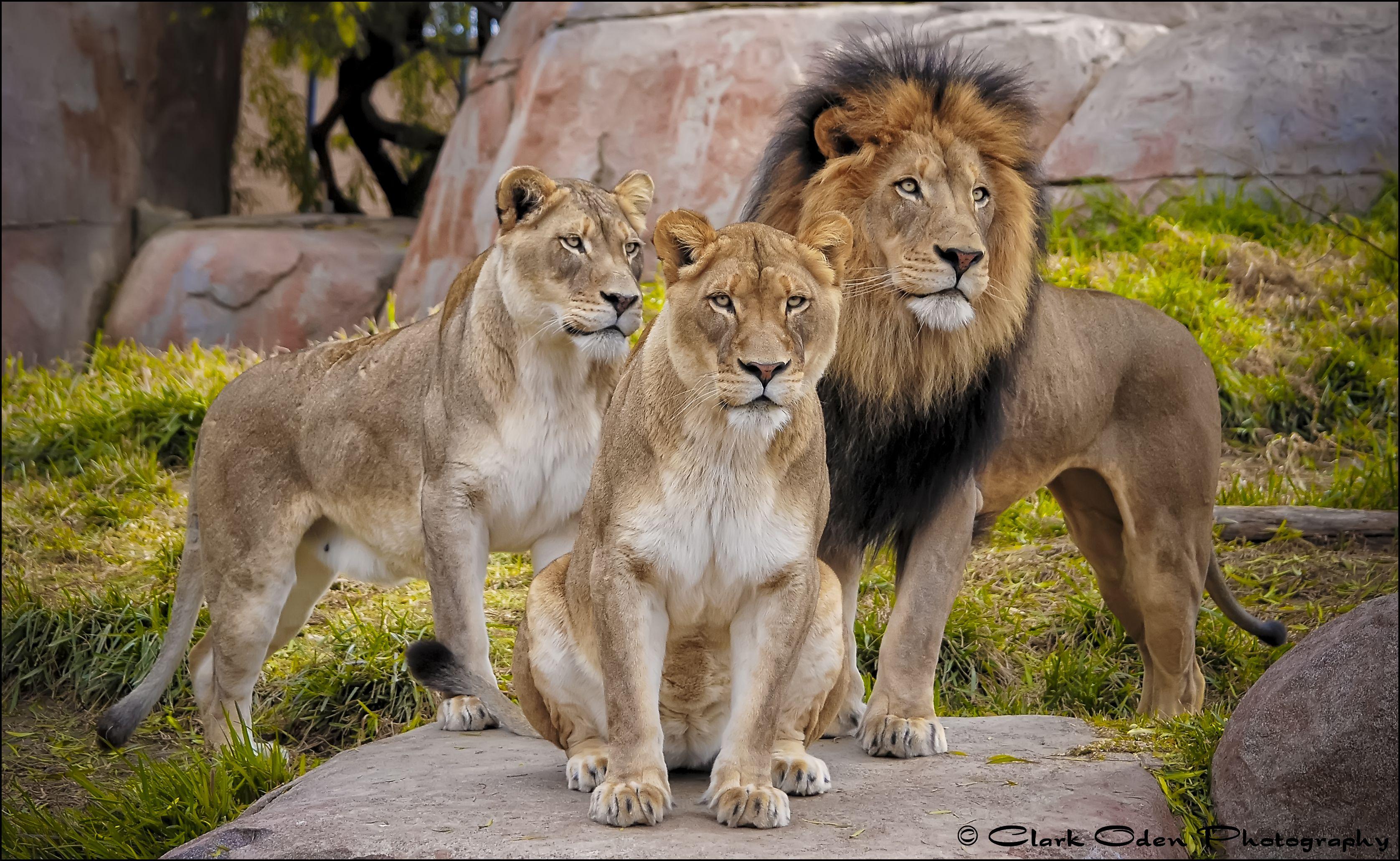 Lion King Izu And His Two Queens Oshana And Mina San Diego Zoo