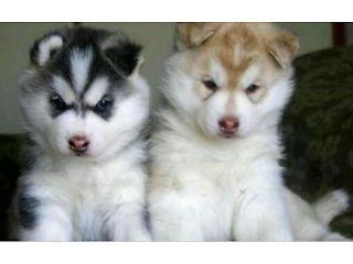 Siberian Husky Pups Cute Husky Puppies Malamute Puppies Cute Husky