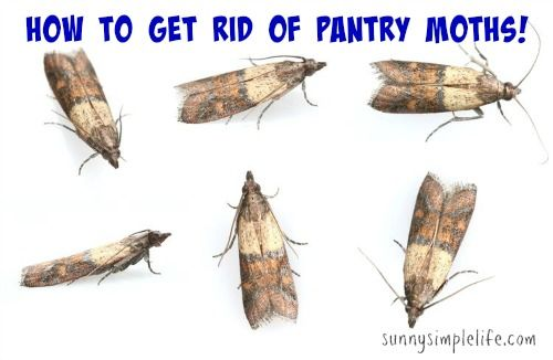 c070ed1c860fd773cbb2a522ef8a896b - How To Get Rid Of Pantry Moths And Larvae