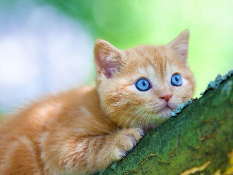 Susse Wonneproppen Bkh Babys Beim Spielen Katzen Susseste Haustiere Und Kleine Katzen