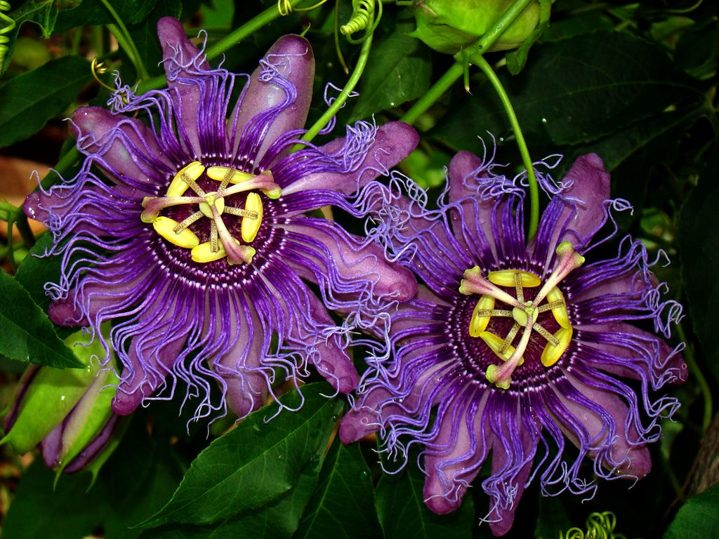 Passiflore Incense Passion Flower Flower Pictures Trees To Plant