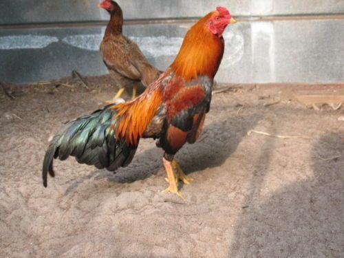 15-RED-ASIL-HATCHING-EGGS-SONATOL-ORIENTAL-GAMEFOWL | gallos