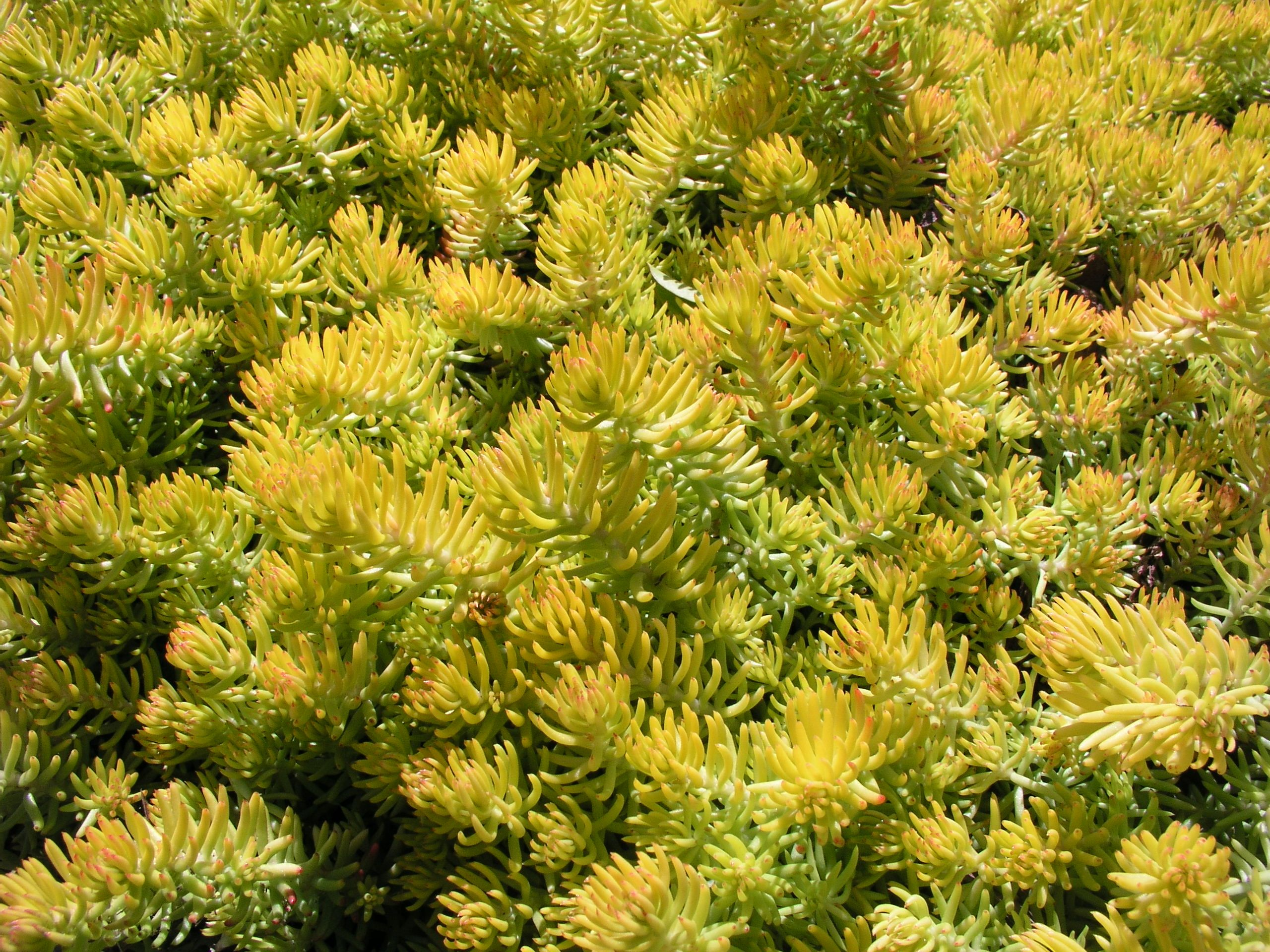 For Green Roof Sedum Reflexum This Is A Herbaceous Perennial That