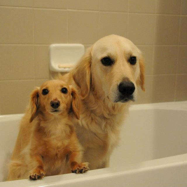Also Want These Guys Blonde Dachshund And Golden Retriever Big