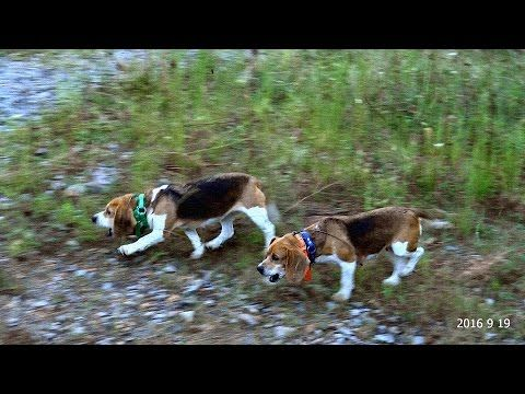 Skyview S Beagles Online Brace Contest Sept 19th 2016 Beagle
