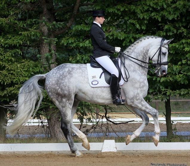 Hanoverian Horse Dapple Grey