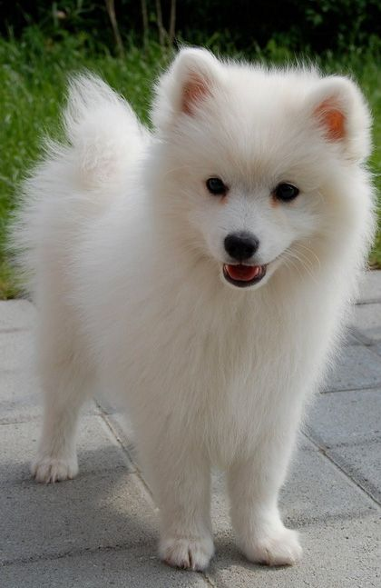 Amazing German Spitz Canine Adorable Dog - c07352ffce1cb183e5e63fe10f462c8d  Perfect Image Reference_41659  .jpg