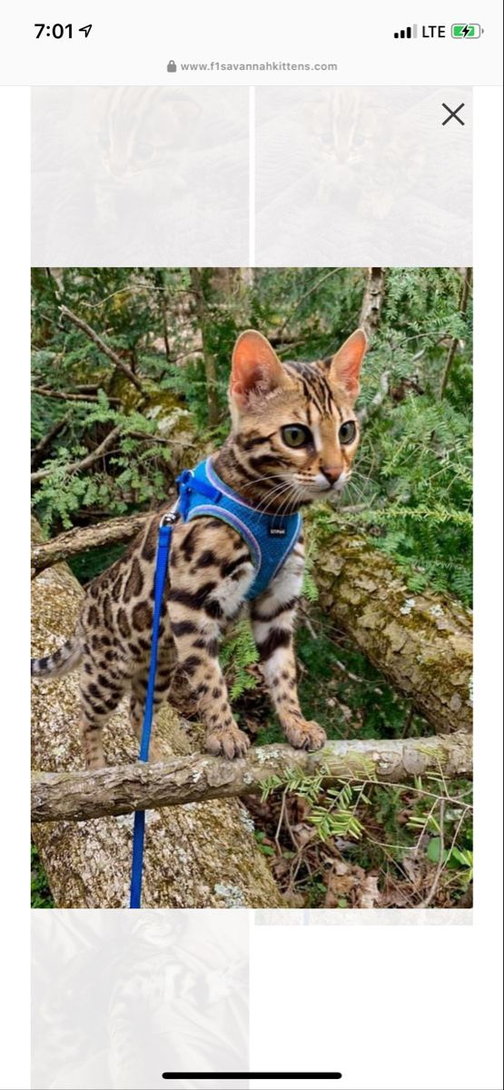 F1 bengal california in 2020 Savannah kitten, Cat