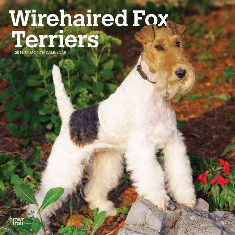 Fox Terriers Wire 2019 Calendar Wirehaired Fox Terriers are alert