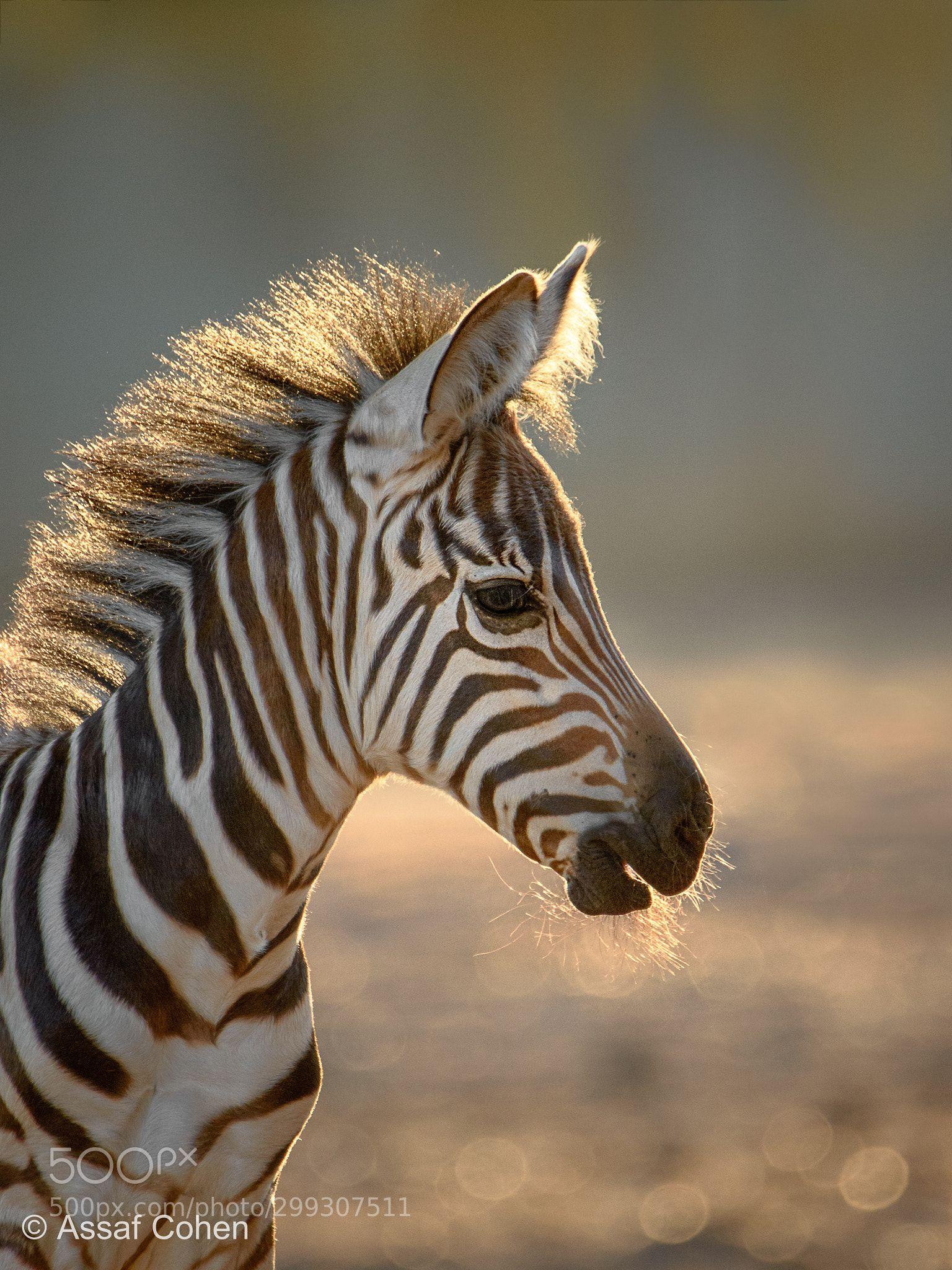 a young zebra animalanimal ...